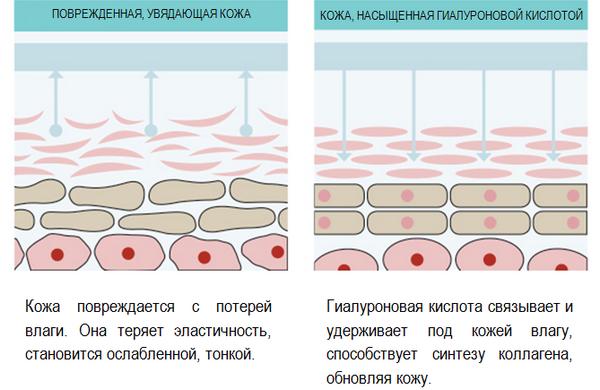 Большое количество гиалуроновой кислоты способствует восстановлению и омоложению кожи