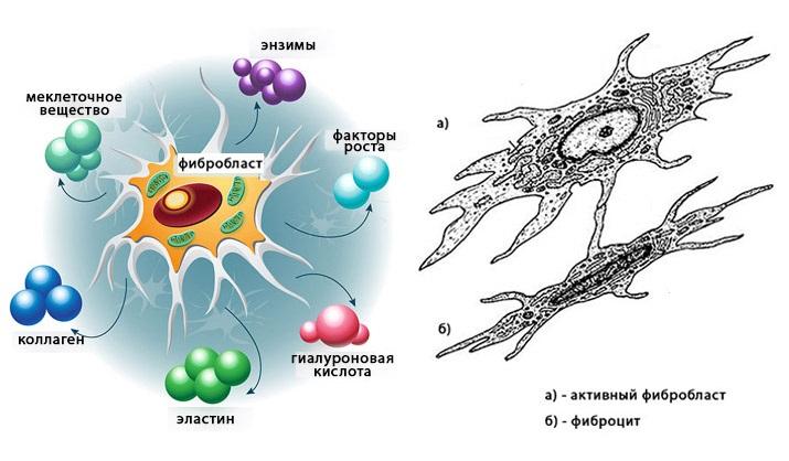 Фибробласты выполняют важные функции