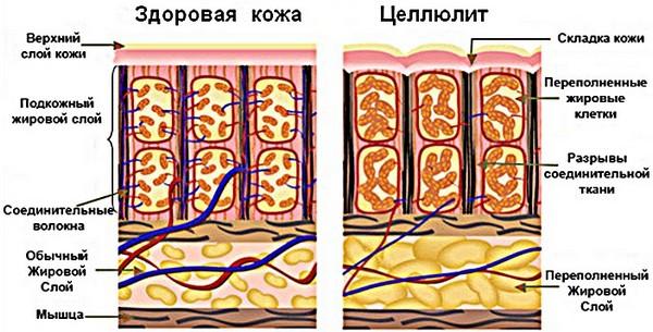 Жировая ткань состоит из двух слоёв