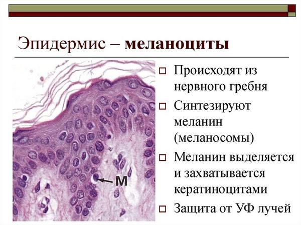 Из-за фотостарения неправильно распределяются меланоциты
