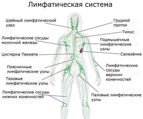 При массаже обязательно учитывается расположение лимфатических сосудов и узлов