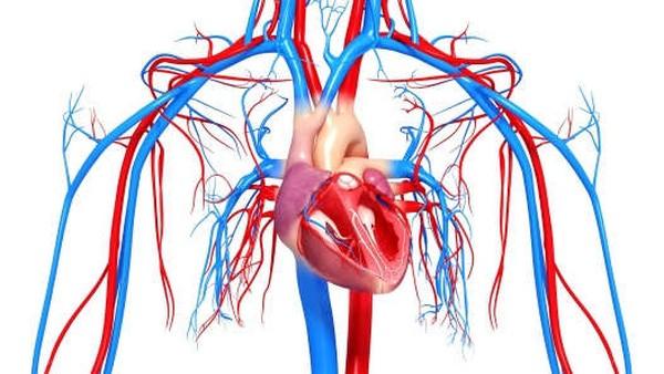 Сердце и сосуды должны быть в норме