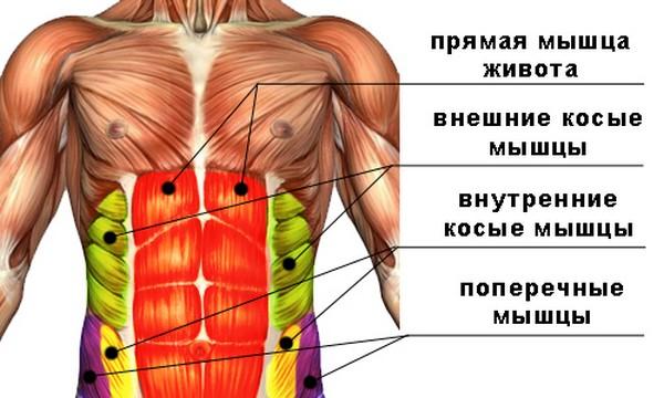 Мышцы брюшной полости