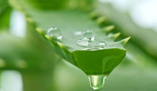 Эфирные масла в сочетании с соком алоэ помогают улучшить состояние кожи