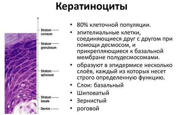 «Работа» кератиноцитов может нарушиться, и состояние кожи ухудшится