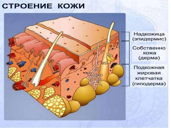 Кожа состоит из трех слоёв