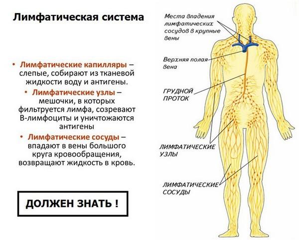Лимфа важна для здоровья человека