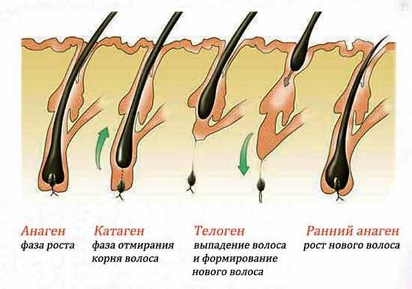 Есть несколько стадий роста волоса