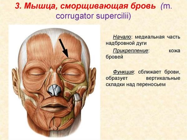 Расположение мышцы-корругатора